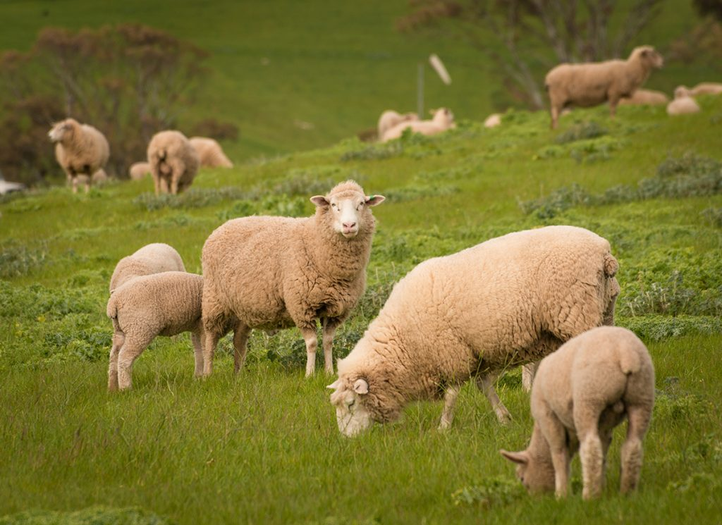 Sheep and lambs eating in a paddock