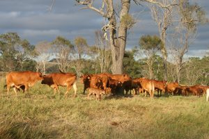 Northern cattle and calf