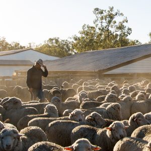 Photo of a farmer surrounded by Merino sheep in dusty yards