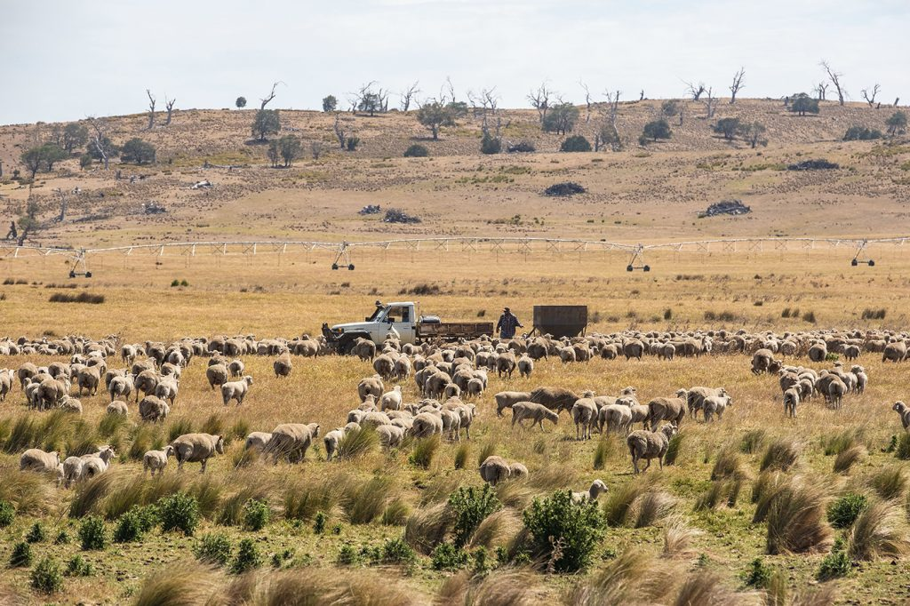 Sheep in paddock with farmer in distance