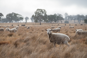 Shorn lamb in long paddock