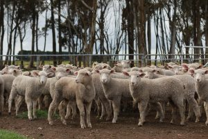Penned lambs in Victoria