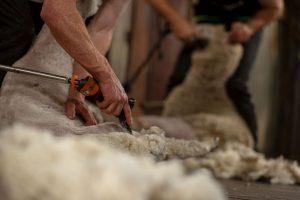 Sheep shearing in shed