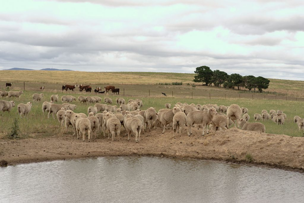 Flock of sheep in the paddock