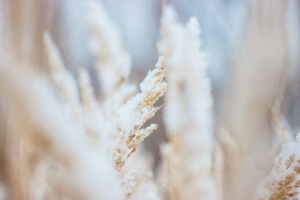 Frosty wheat