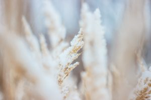 Frosty wheat
