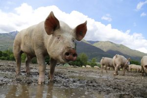 Pig in muddy field