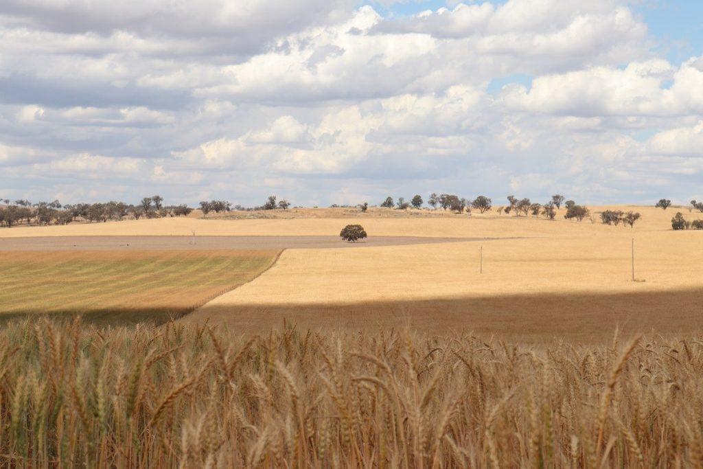 WA wheat field