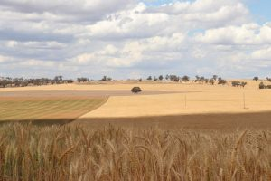 WA wheat field