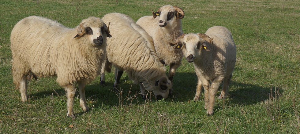 romanian sheep