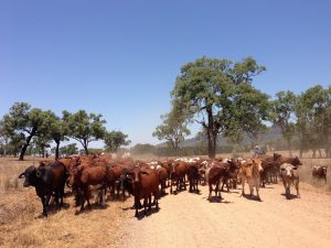 Cattle NSW