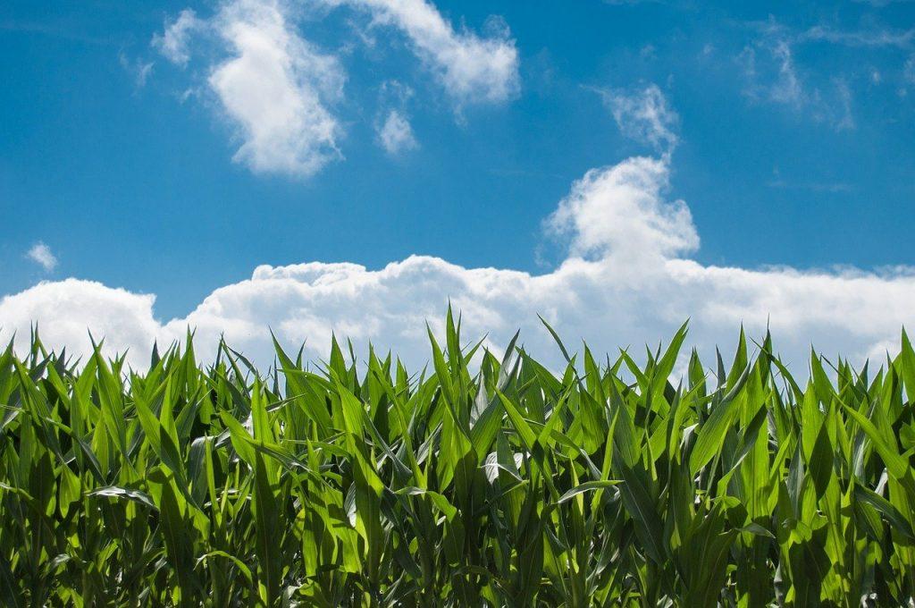 Corn crop with blue skies