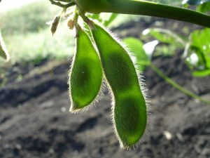 Two green soybean pods