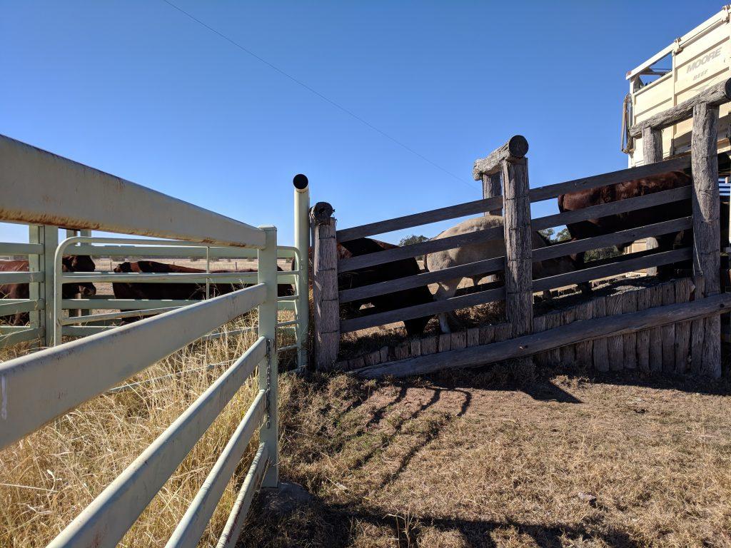 Loading cows onto a truck