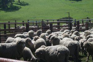 Sheep lambs in yards