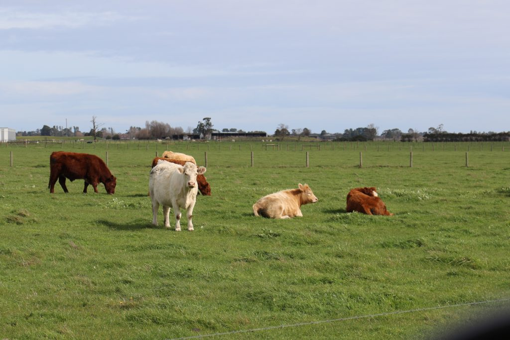 Cows in a paddock