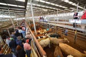 Cattle saleyards