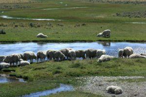 Sheep patagonia