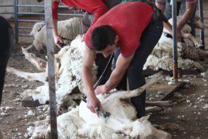 Shearing merino sheep