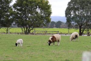 Sheep & lambs in a paddock