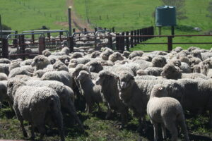 Sheep and lamb in yard