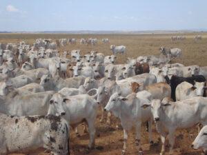 Cattle in Brazil