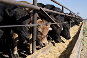 Beef cattle eat grain-based rations at a ranch