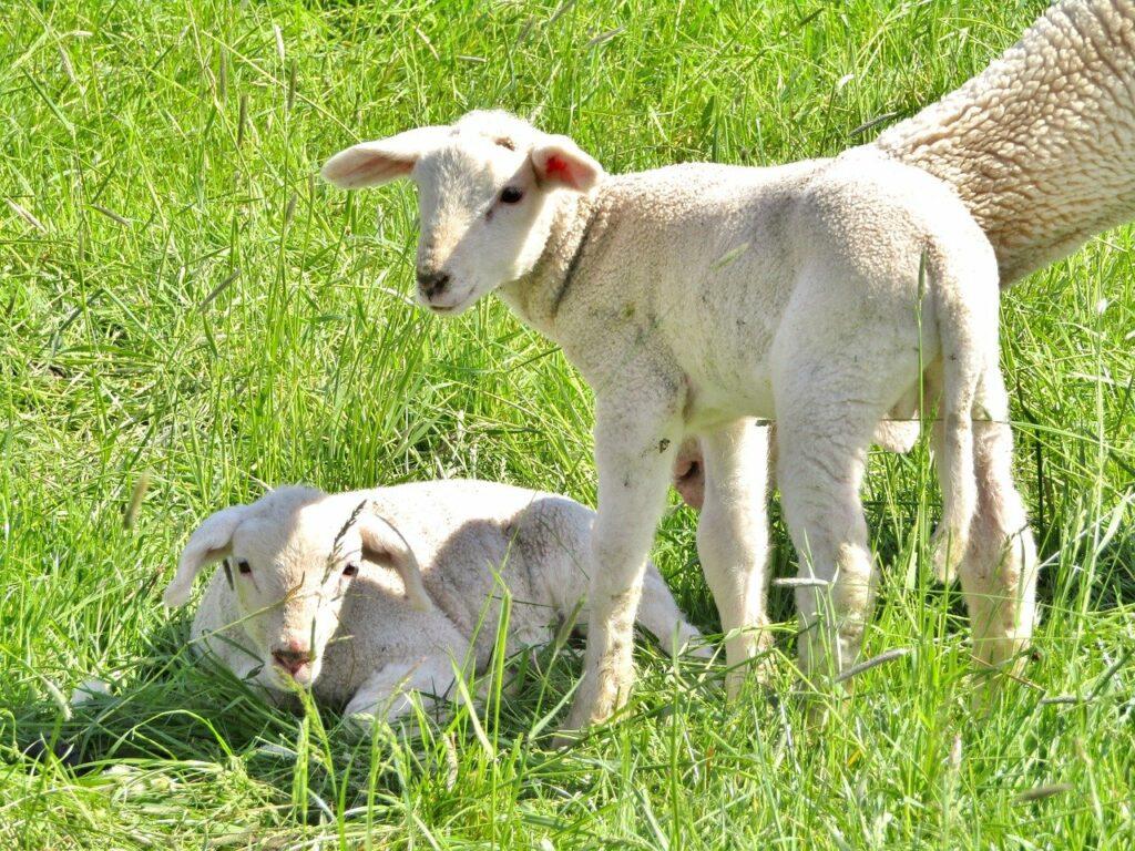 Merino lambs