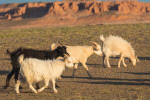 mongolia cashmere goats