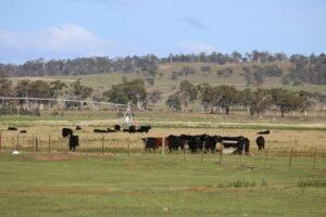 cattle in field image