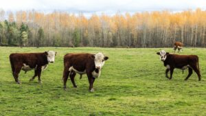 Cattle in the USA