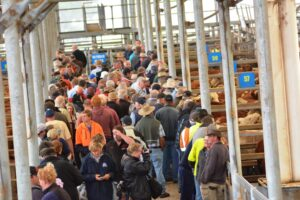 Cattle saleyards, people