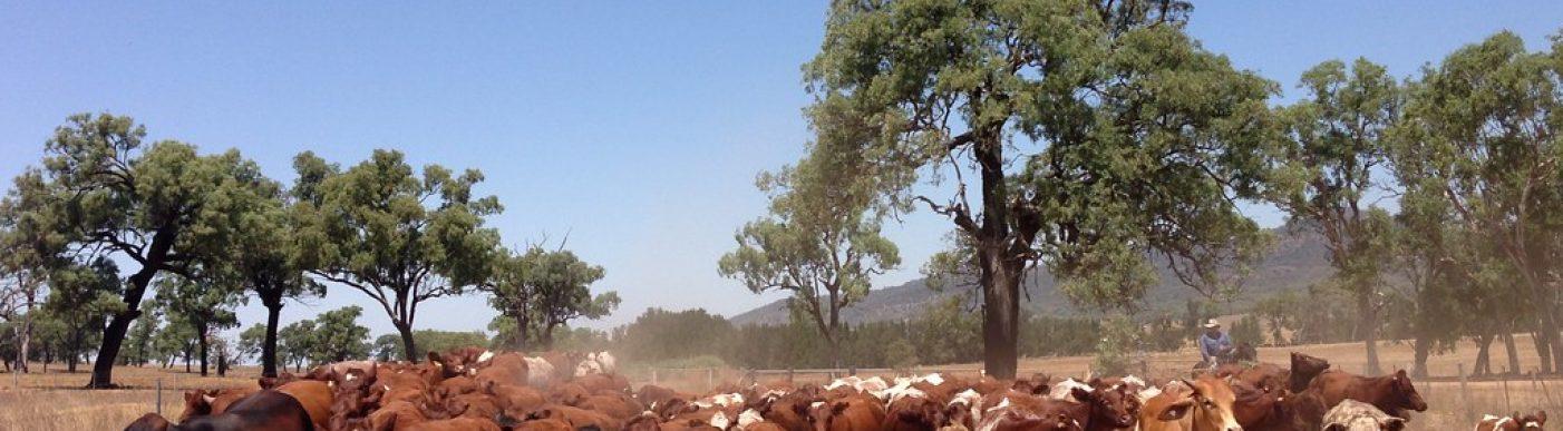 Cattle NSW