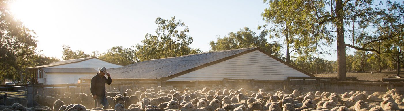 Farmer surrounded by Merino sheep with house in background