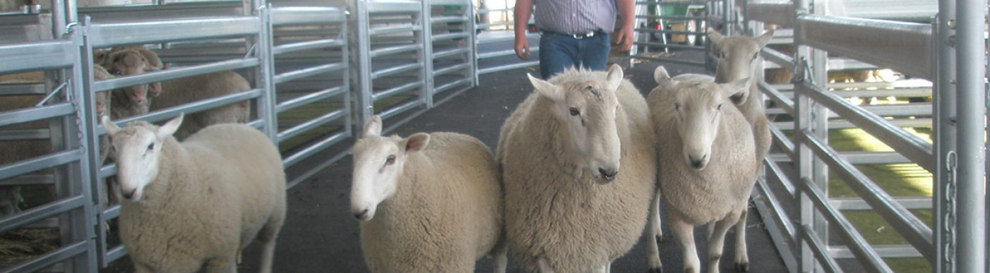 Wool sheep moving through yards