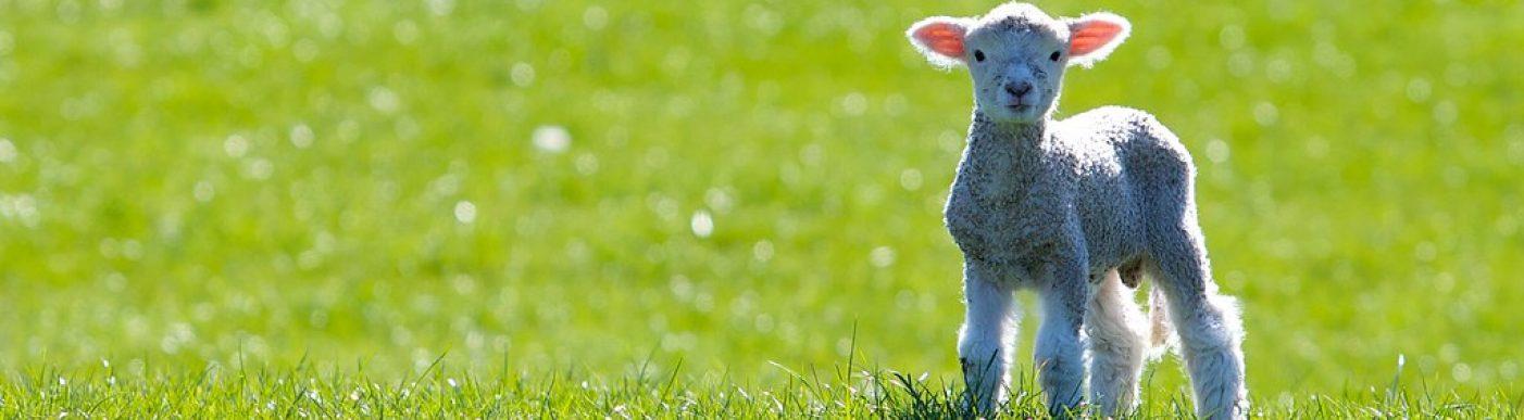 lamb on grass