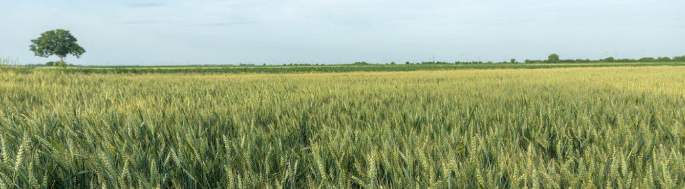 wheat field france