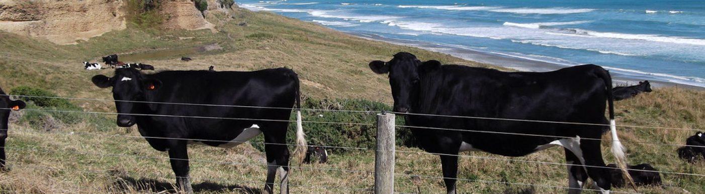 NZ cattle
