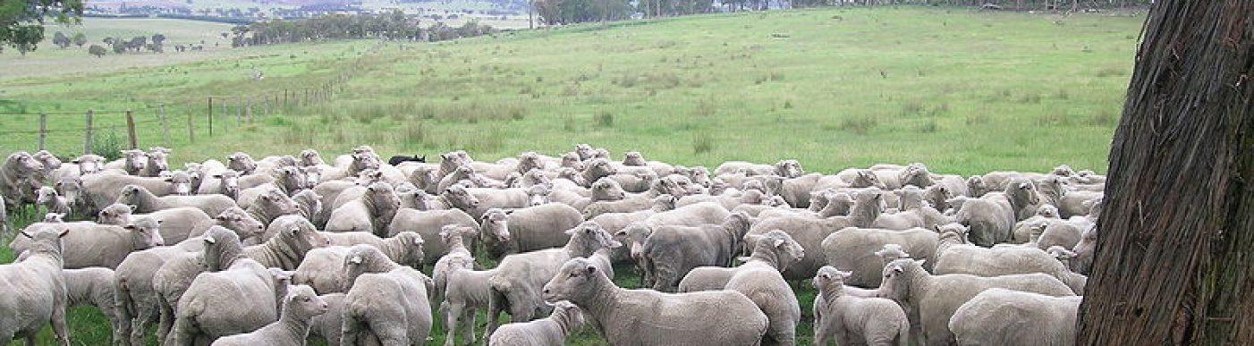 800px-Merino_ewes_&_lambs-crop