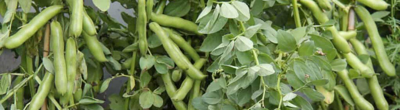 Broad-Fava-Bean-bigstock-A-Crop-Of-Broad-Bean-Plants-Re-312679561-1024x736