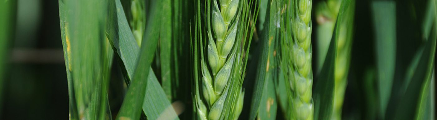 Close up image of green wheat head