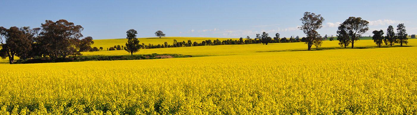 Fields of canola in bloom 2