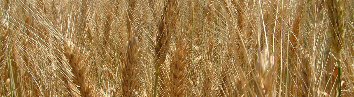 Golden wheat heads in paddock
