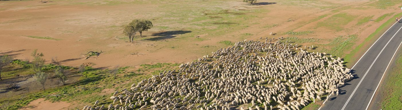 Sheep muster in outback Queensland near Charleville.
