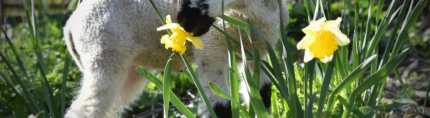 Spring lamb 2