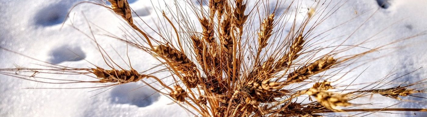 Wheat Ear Of Wheat In The Snow Snow