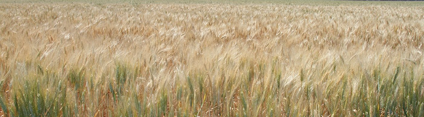 Field of green and gold wheat