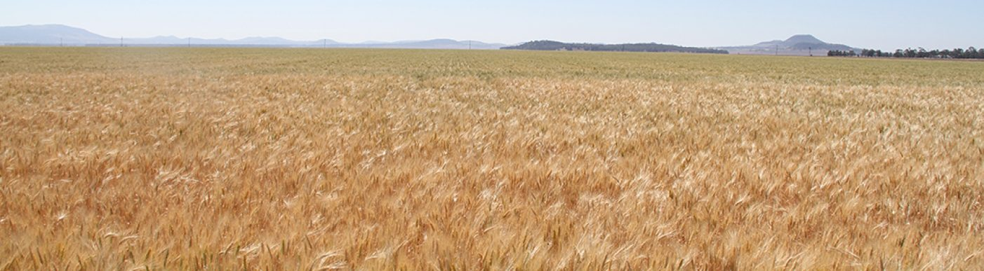 Looking into the distance over wheat field