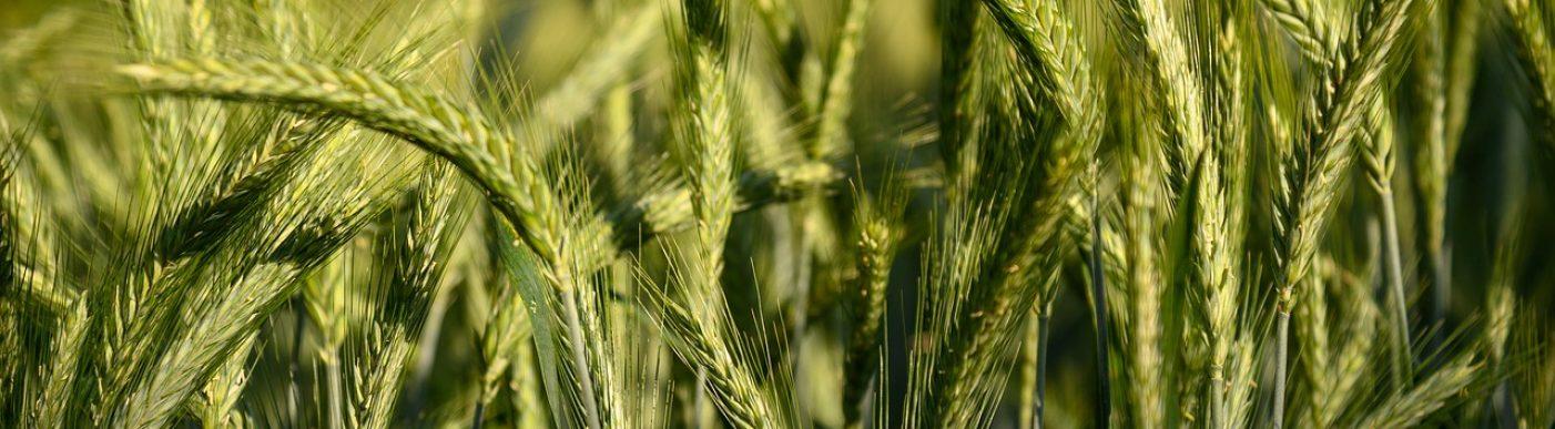Green barley crop