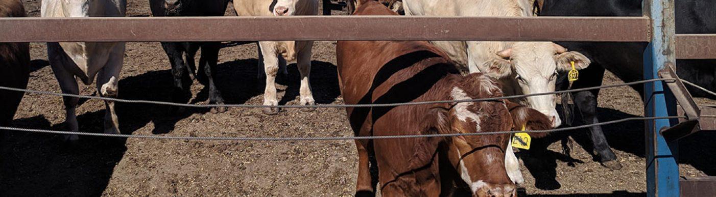 Cattle in feedlot eating grain